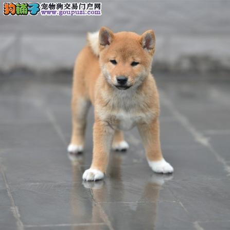 纯种柴犬出售中 质量三包 完美售后可签协议