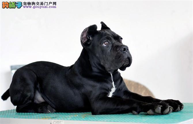 高品质 卡斯罗、幼犬出售,正规注册狗场带芯片证书