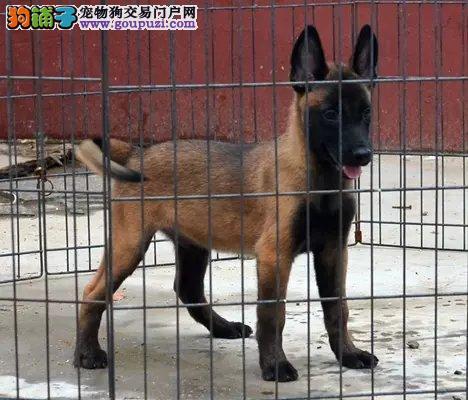 马犬最大的正规犬舍完美售后市内免费送货