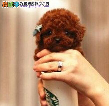 纯种茶杯玩具泰迪犬 品相好 颜色齐 签售后包健康
