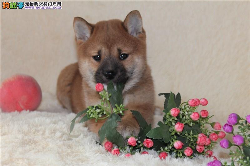CKU犬业出售赛级柴犬幼犬 签订售后协议 健康质保