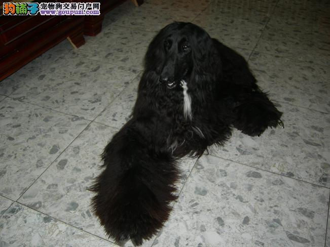 福州家养赛级阿富汗猎犬宝宝品质纯正品质优良诚信为本