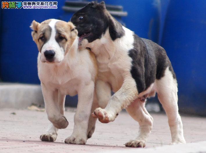 热卖中亚牧羊犬多只挑选视频看狗以品质惊世人
