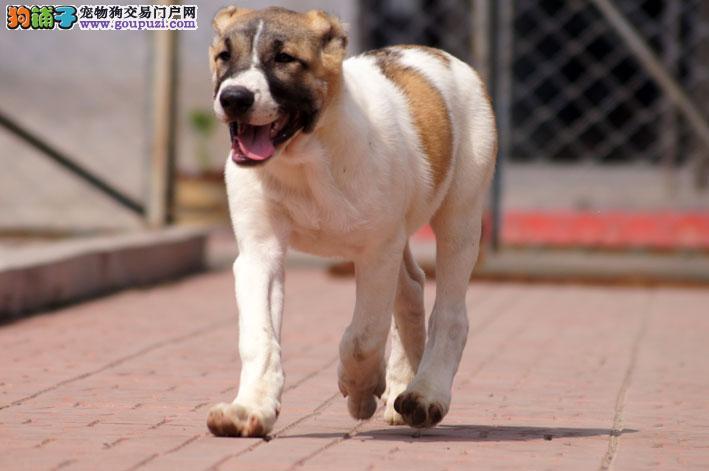 直销中亚牧羊犬幼犬 价格美丽品质优良 讲诚信信誉好
