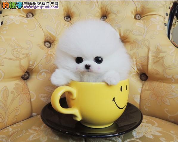 知名犬舍出售多只赛级茶杯犬当地上门挑选