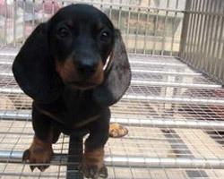 长沙哪里出售腊肠犬 纯种腊肠犬多少钱一只
