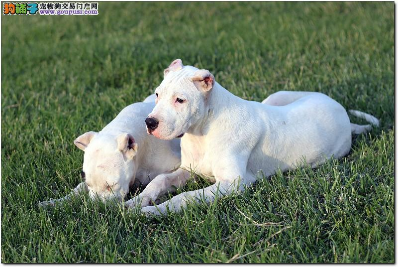 杜高猎犬纯种阿根廷猎犬杜高犬犬舍繁殖出售杜高幼犬