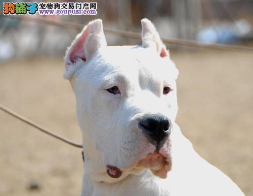 犬舍常年 出售杜高猎犬 纯种阿根廷猎犬杜高犬