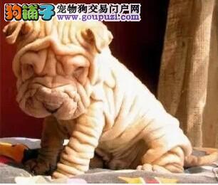 郑州自家繁殖沙皮狗出售公母都有诚信经营三包终身协议