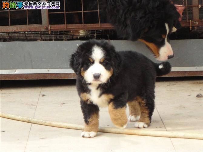 出售极品伯恩山幼犬完美品相品质保障可全国送货