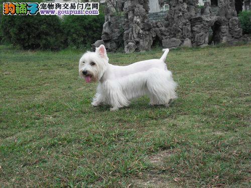 贵阳实体店出售精品西高地保健康微信看狗真实照片包纯