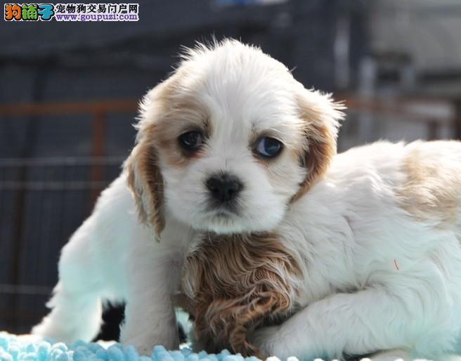 出售英 美可卡幼犬终身保品质 上门选购