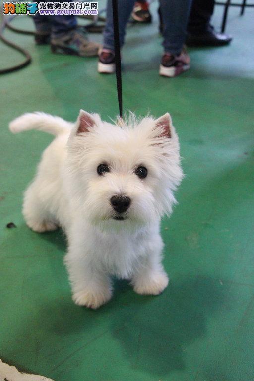 长期出售雪白西高地包狗狗健康一个月