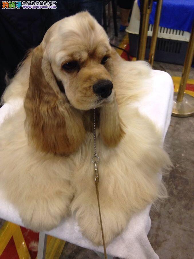 出售纯种可爱可卡幼犬