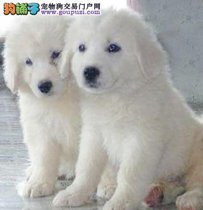 自家繁殖大白熊宝宝寻新家 大白熊价格 健康狗狗