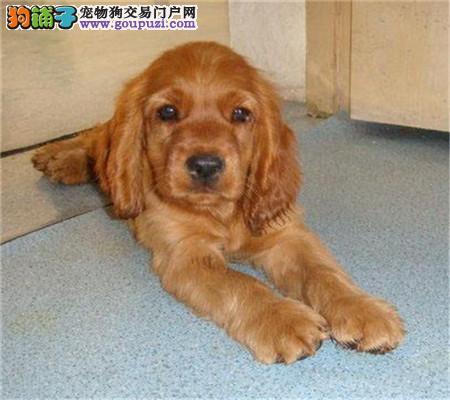 出售赛级品相可卡幼犬保健康包纯种签质保