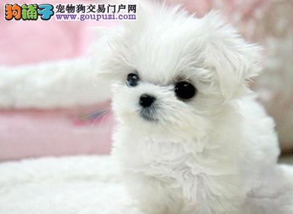 南京哪里有卖马尔济斯的 纯种马尔济斯犬多少钱一只