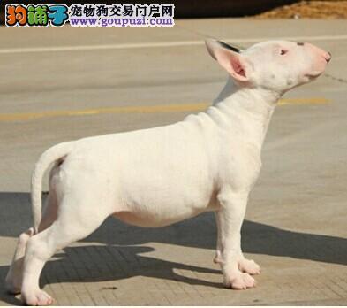 出售纯种白色和虎皮牛头梗犬