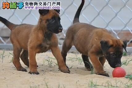 出售马犬幼犬、精心繁育品质优良、签订正规合同