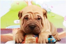 繁殖出售赛级血统沙皮幼犬售后 签订质保协议