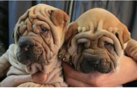 CKU认证纯种沙皮犬,健康保证血统保证签署协议