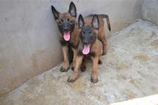 CKU犬舍认证出售高品质马犬看父母照片喜欢加微信
