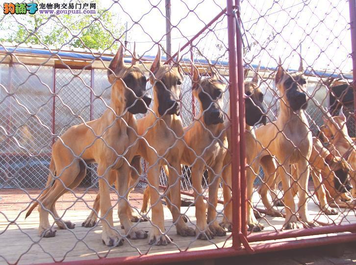 大丹犬幼犬出售中、顶级品质专业繁殖、全国送货上门