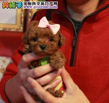 南京哪里有卖茶杯犬的 茶杯犬价格 多少钱一只