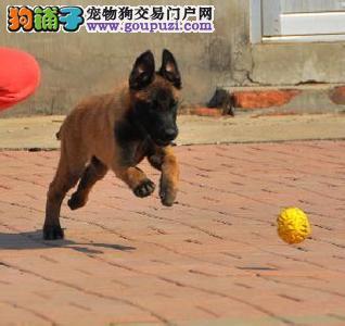 出售正宗血统优秀的马犬CKU认证绝对信誉保障