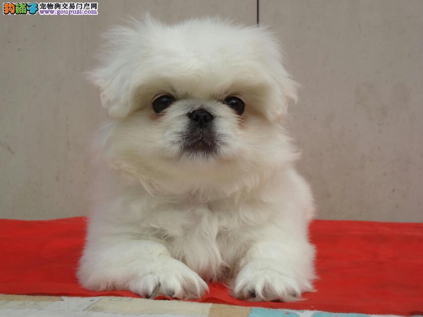 长沙京巴犬可以去哪里购买 长沙健康的京巴哪里有出售