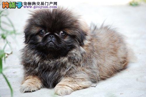 杭州纯种京巴幼犬出售 哪里出售京巴犬 多少钱一只