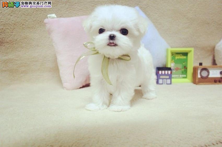 完美体态 长相甜美,国内第一血系种群赛级马尔济斯犬