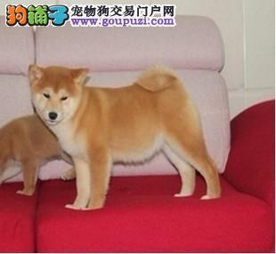 出售日系纯种秋田柴犬保健康  最大的柴犬繁殖基地
