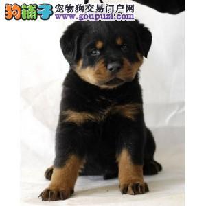 长沙犬场直销纯种德系罗威那幼犬包品质及健康