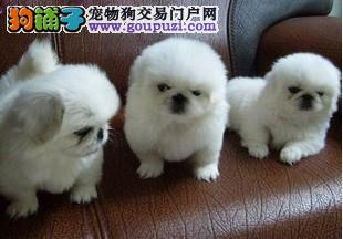 热销多只优秀的吉林纯种京巴幼犬全国送货上门