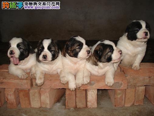 出售纯种健康的长沙中亚牧羊犬幼犬三针疫苗齐全