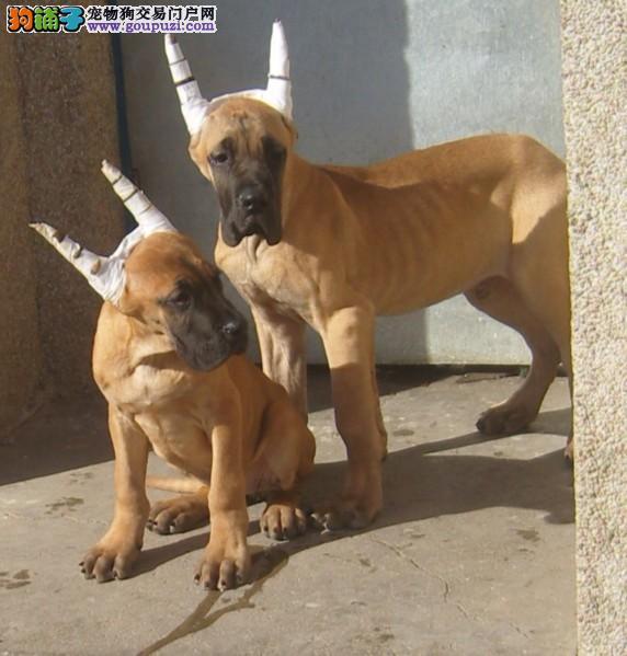 西双版纳实体店低价促销赛级大丹犬幼犬优质售后服务