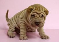 出售高端沙皮狗,自家繁殖保健康,三年质保协议