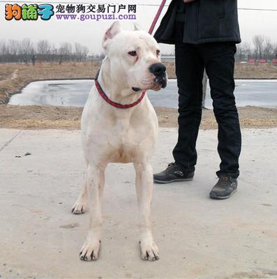 杜高价格 杜高多少钱北京 纯种杜高专卖