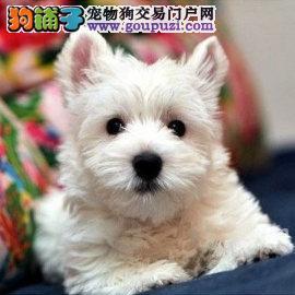 长沙哪里有西高地犬出售 纯种西高地幼犬多少钱一只