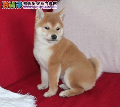 纯种日本柴犬 可爱的小精灵 上门选购