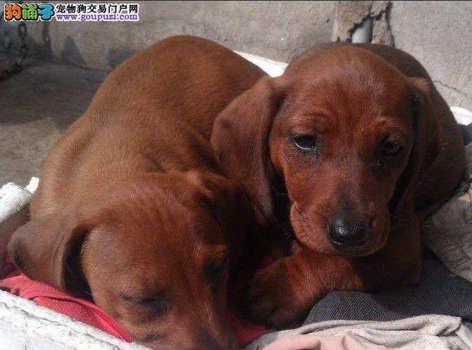 长沙纯种腊肠犬多少钱一只 是纯种健康的吗