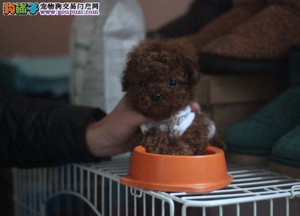 出售自家繁殖茶杯犬 可爱至极 购买可签订协议