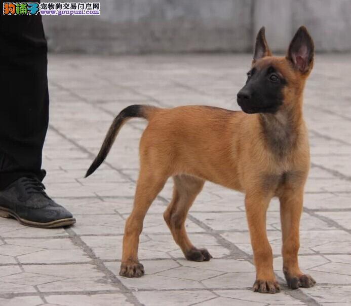 出售马犬幼犬 可看狗狗父母照片 质保健康90天