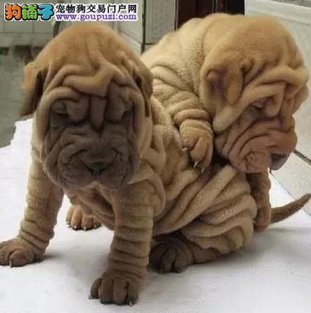 赛级品相沙皮狗幼犬低价出售外地可空运已驱虫