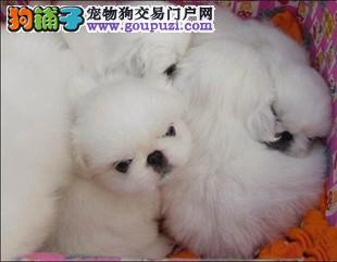 温州哪里可以买到纯种的京巴犬 温州京巴犬价格