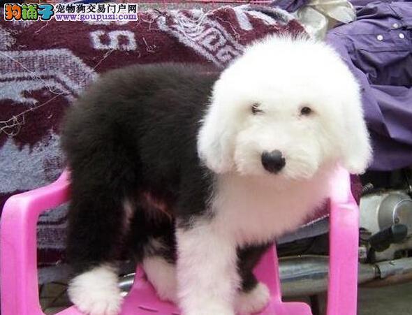 纯种古牧幼犬家养古代牧羊犬白头通背宠物冠军赛级狗狗