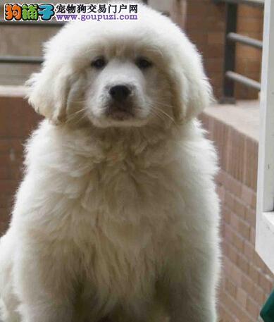 出售极品大白熊幼犬 体形均称 品质超好 签订协议