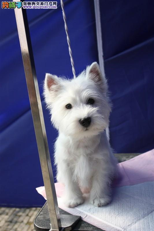 精品西高地 西高地幼犬 纯种西高地出售