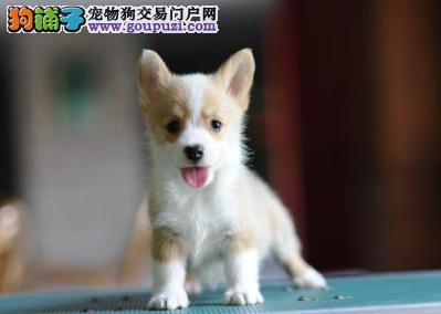 出售精品短腿纯种威尔士柯基犬 三色黄白色柯基幼犬